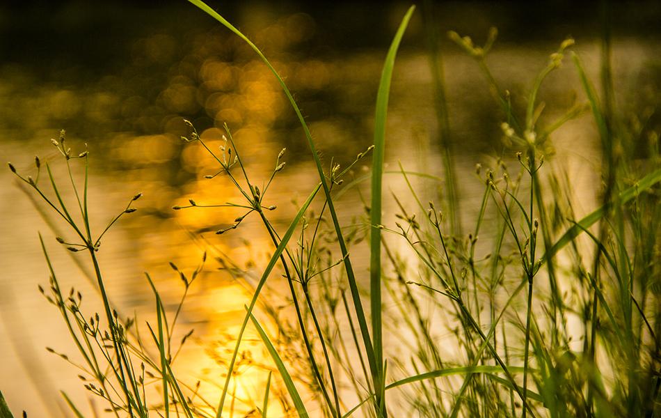 泛着黄色光斑的湖面常见游鱼戏水,当涟漪层层泛起时,总让人沉醉。